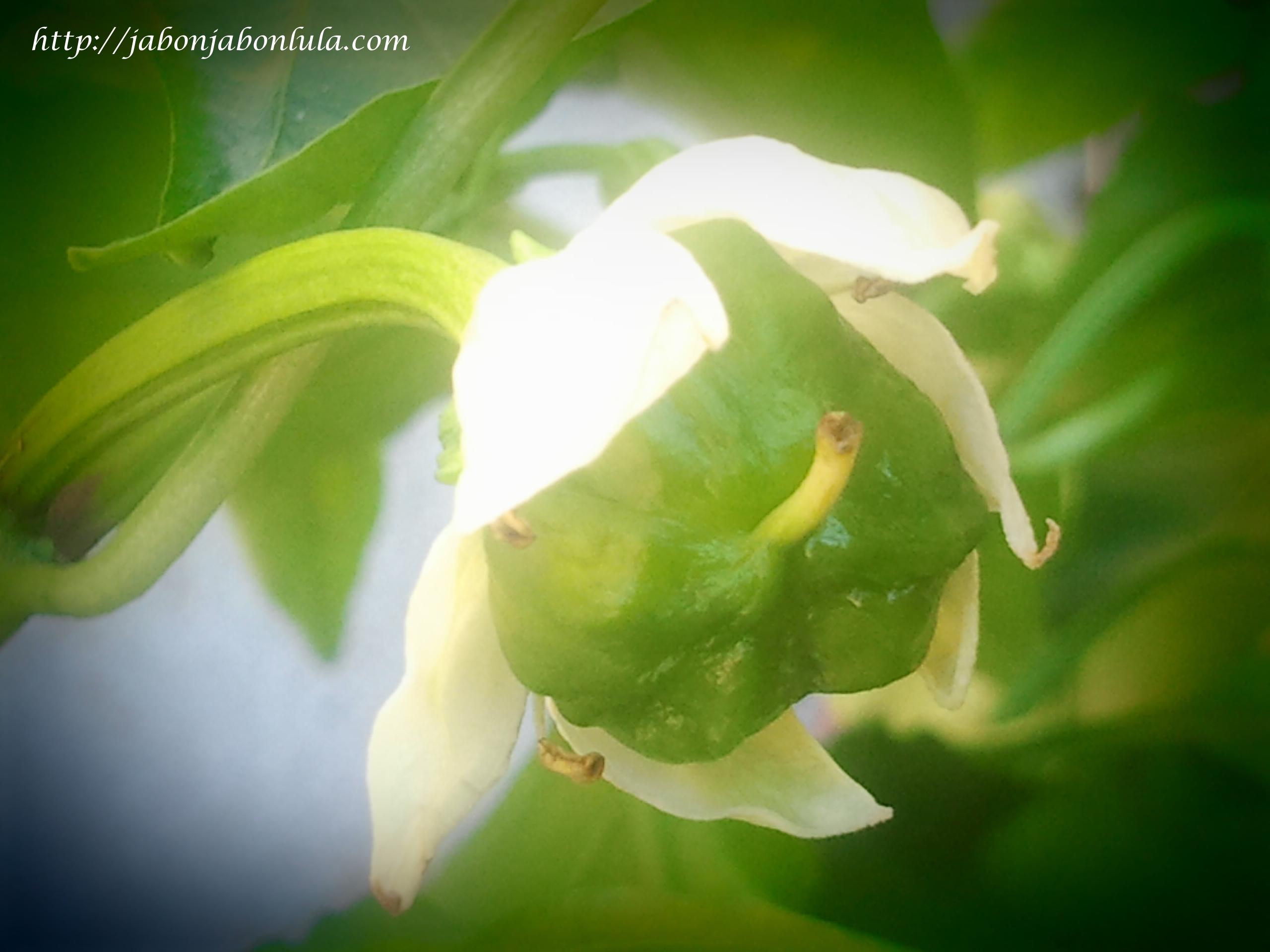 Jabon Jabon Lula Huerto Ecologico Y Jardin Comestible ~ Como Hacer Una Huerta Ecologica