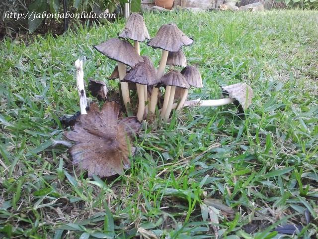 coprinus atramentarius, jardin comestible, productos ecologicos, huerta ecologica, maceto huerto, huerto urbano