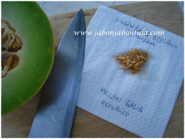 Recolectando semillas de melón galia ecológico para la siguiente temporada. ¿Y por qué no? Jabón de Castilla al dulce melón, con su aroma natural, nada de esencias sintéticas.