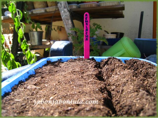 Preparando el semillero de remolacha, la sembraremos en asociación con los ajos y las lechugas en mi huerto ecologico.