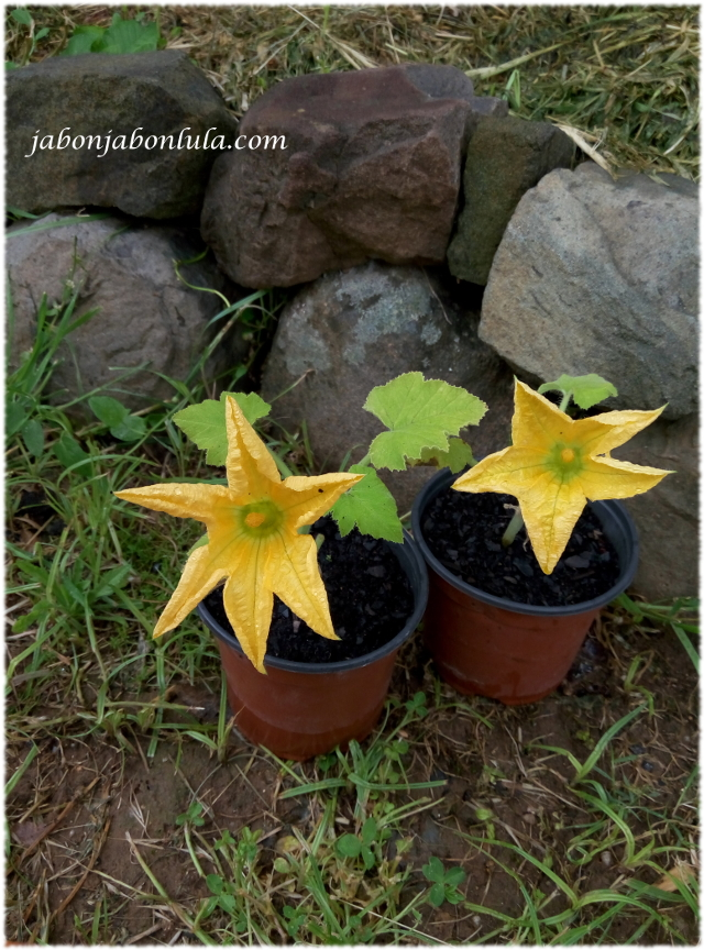 Calabaza Patisson en flor para el huerto urbano o huerto ecologico