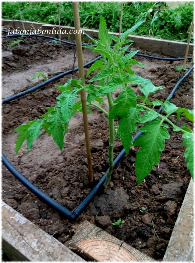 Tomates Corazon de Toro en mi huerto ecologico, agricultura ecologica casera para tener productos naturales en casa