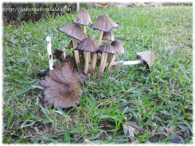 setas en huerto ecologico coprinus atramentarius