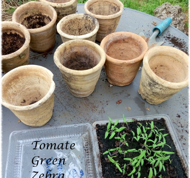 Tomate Green Zebra, los productos ecologicos de mi huerta organica o jardin comestible.